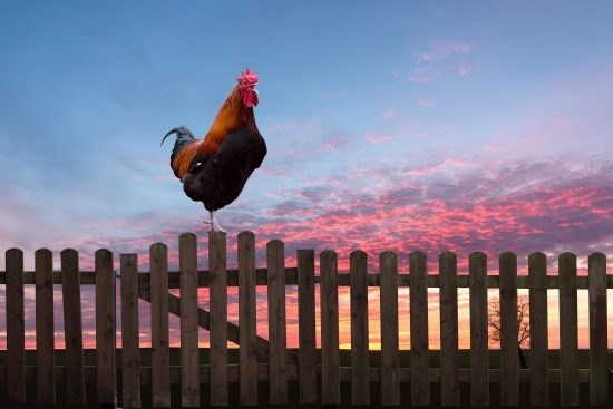 cockerel-sunrise-start-early-blog